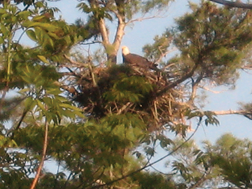 Eagle tending it's young ones. Photo by Jor