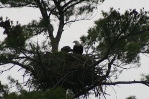 eaglebaby2