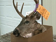 """This deer has female body parts and a six-point rack. It was shot within two miles on the same day as the first """"doe-buck"""" brought in for process"""