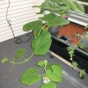Seeing is believing—Two pumpkin plants started from the same seed at the same time show the difference be