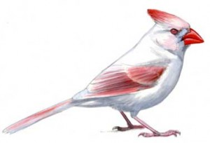 Albino and partial albino birds. A full albino Northern Cardinal, recognizable  by the lack of pigment in the eyes, making  them appear pink. Original gouache  painting copyright David Sibley.