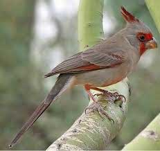 The Pyrrhuloxia is a tough-as-nails songbird of the American Southwest and northern Mexico.